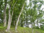 原木椎茸栽培風景